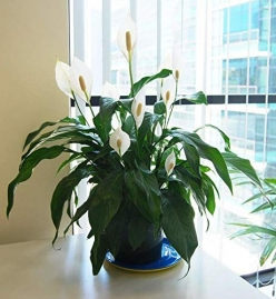 Peace Lily Plant- Indoor Plant With Pot