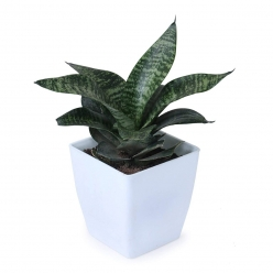 Snake Plant (Pot Included), Air Purifier Plant