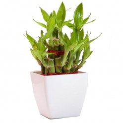 Bamboo Plant With Pot
